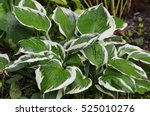 Close Up Of The Leaves Of The...