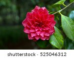 Bright Red Camellia Flower In...