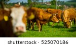 limousin beef cattle in a... | Shutterstock . vector #525070186