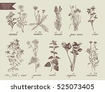 number 1 medical herbs hand... | Shutterstock .eps vector #525073405
