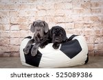 Grey  Black And Brown Puppies...