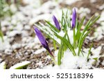 bunch of purple crocuses under... | Shutterstock . vector #525118396