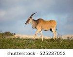 A Young  Eland Antelope ...