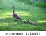 Mother Goose Leads Gosslings...