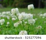 Clover Flower       ...