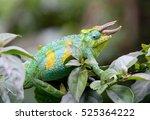 jackson's horned chameleon | Shutterstock . vector #525364222