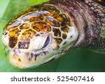 Close Up Big Sea Turtle Head.