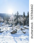 Winter Pines Snow Landscape