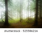 natural forest of spruce trees... | Shutterstock . vector #525586216