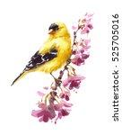watercolor bird american...   Shutterstock . vector #525705016