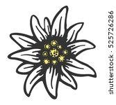 edelweiss flower symbol... | Shutterstock .eps vector #525726286