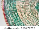 cambial cells  micro... | Shutterstock . vector #525774712