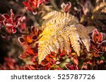 Frost On Yellow Fern With Red...