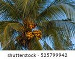 tropical background  coconut... | Shutterstock . vector #525799942