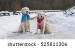 Couple Of Golden Retriever Dog...