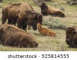 newborn bison calf getting... | Shutterstock . vector #525814555