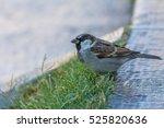 the house sparrow  passer... | Shutterstock . vector #525820636