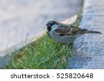 the house sparrow  passer... | Shutterstock . vector #525820648