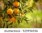 Tangerine Sunny Garden With...