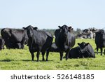 A Herd Of Black Angus Cattle