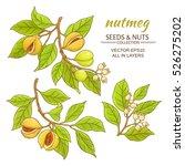 nutmeg vector set | Shutterstock .eps vector #526275202