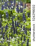 Small photo of Ajuga reptans is a sprawling perennial plant with erect flowering stems and grows to a height of about 10 to 35 cm (4 to 14 in).