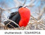 male magnificent frigate bird ... | Shutterstock . vector #526440916