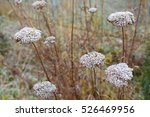 Small photo of Fern-leaf yarrow flowers in winter, Achillea filipendulina