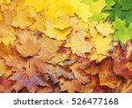 Gradient Of Multicolored Maple...
