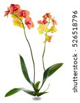 Small photo of orchid plant family of monocots, on a white background