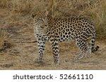 leopard | Shutterstock . vector #52661110
