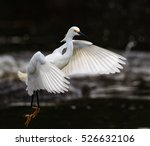 Snowy White Egret  With Yellow...