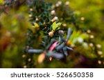 australian native shrub teatree ... | Shutterstock . vector #526650358
