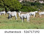view of white chianina breed... | Shutterstock . vector #526717192
