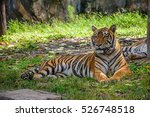 indochinese tiger in songkhla... | Shutterstock . vector #526748518