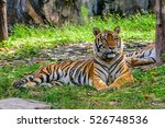 indochinese tiger in songkhla... | Shutterstock . vector #526748536