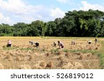 Farmers Harvesting Rice In...