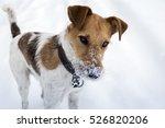 Stock photo fox terrier enjoying snow in winter 526820206