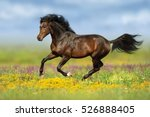 Stock photo bay stallion run gallop on flower pasture 526888405