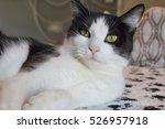 Stock photo black and white cat 526957918