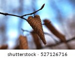 leaves with snow on the... | Shutterstock . vector #527126716