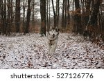 alaskan malamute in nature | Shutterstock . vector #527126776