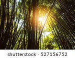 Sun Shining On Bamboo With Of...