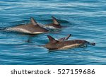 dolphins  swimming in the ocean ... | Shutterstock . vector #527159686