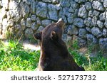 an hungry big brown bear in the ... | Shutterstock . vector #527173732