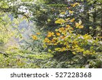 Stock photo autumn forest selva de irati fall beech jungle in navarre pyrenees of spain 527228368
