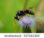 Wasp On Flower Meadow Thistles