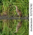 Small photo of American Bittern with Reflection Standing in the Reeds