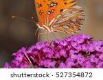 Gulf Fritillary On Butterfly...