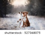 Stock photo two dogs and a nova scotia duck tolling retriever and jack russell in nature from christmas trees 527368075